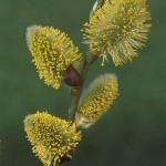 willow-f-150x150